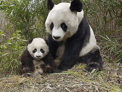 Panda Bear 8 x 10 GLOSSY Photo Picture IMAGE #2