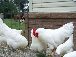 *10 RHODE ISLAND WHITE single comb- chicken hatching eggs-Incubator ready