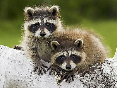 Raccoons / Raccoon 8 x 10 / 8x10 GLOSSY Photo Picture