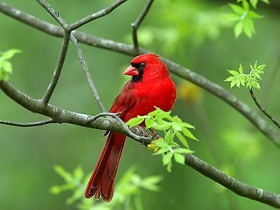 Red Cardinal / BIRD 8 x 10 GLOSSY Photo Picture IMAGE #2