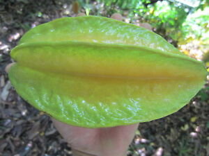 1.5 year old 3 Feet Seedling Star Fruit Averrhoa Carambola Starfruit Plant Tree