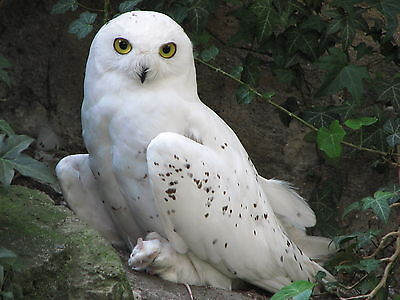 Owl Bird 8 x 10 GLOSSY Photo Picture IMAGE #4