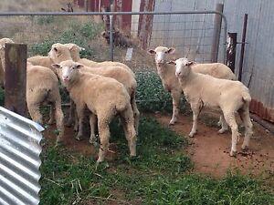 Cross bred lambs Mallala Mallala Area Preview