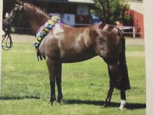 Riding Pony Broodmare Finley Berrigan Area Preview