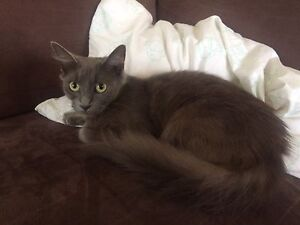 Non standard munchkin cat needs loving forever home Ipswich Ipswich City Preview
