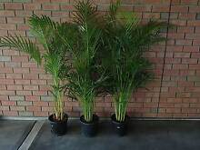 Golden Cane Palms Hillbank Playford Area Preview