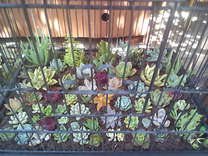 Wedding/party favours succulent plants Bidwill Blacktown Area Preview