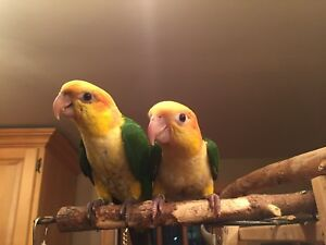 White Bellied Caique Chicks - male