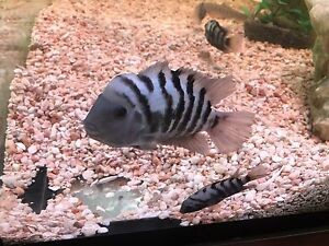 Convict Cichlids for Sale, 2 Breeding pairs North St Marys Penrith Area Preview