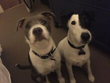 Baxter and Bailey free to a really good home Fortitude Valley Brisbane North East Preview