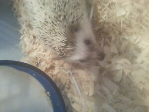 hedgehog needs home