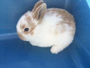 Baby bunnies Bankstown Bankstown Area Preview