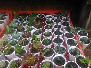 Mini succulent plants Bidwill Blacktown Area Preview