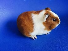 Long fur female baby guinea pig Willetton Canning Area Preview