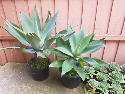 Agave plants in pot very big size (two plants$  150