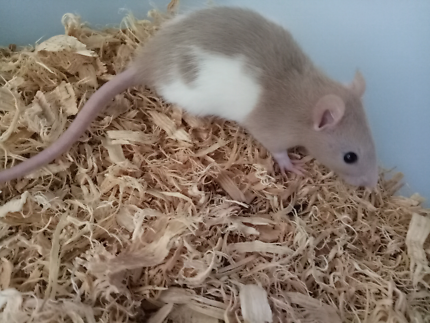 Baby rats 6-7 weeks old