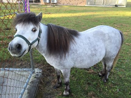 Shetland Pony  Caboolture Caboolture Area Preview