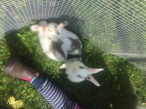 Adorable baby bunnies for sale