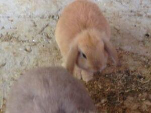 Mini lop baby rabbits Macclesfield Mount Barker Area Preview