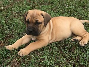 Big, beautiful Bullmastiff/ Neo X pups Glenwood Fraser Coast Preview