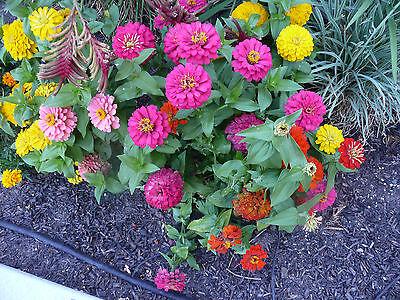 Grow Zinnia Seed (zinnia, BUTTON BOX DWARF, colorful easy to grow annual, 40 SEEDS!)