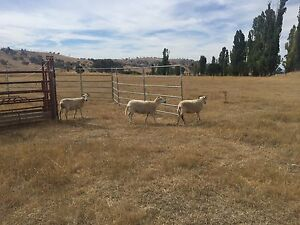 Wiltshire Horn ewe sheep Royalla Queanbeyan Area Preview