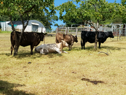 Angus & Murray Grey cows for sale