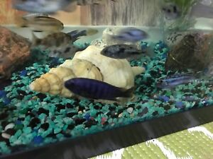 African cichlid for sale $30