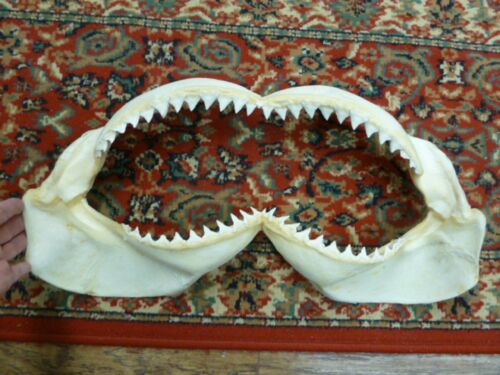 "(sj30-54-2) 22"" BULL SHARK jaw sharks jaws teeth taxidermy science ichthyology"