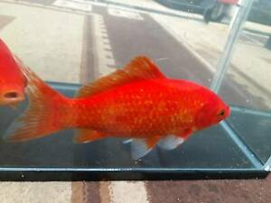 For Sale XLarge Comet Longfin and Short Fin Goldfish