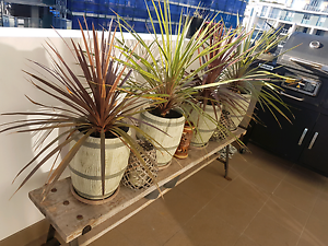 5 mature plants in pots. Botany Botany Bay Area Preview