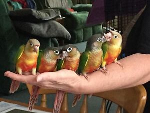 CONURES.  PINEAPPLE AND YELLLOWSIDED BABIES READY NOW Avoca Pyrenees Area Preview
