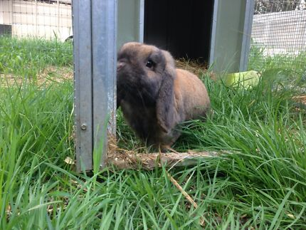 Mini lop boy looking for a loving home Warragul Baw Baw Area Preview