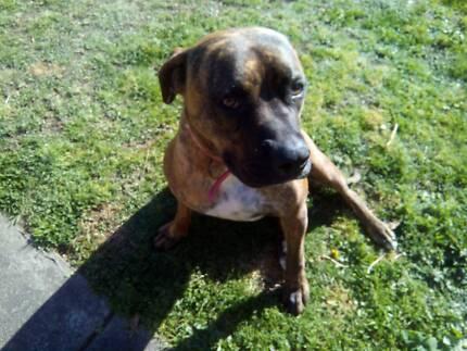 Loving, Playful dog. Boxer/Ridgeback Bentleigh Glen Eira Area Preview