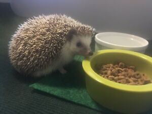 Hedgehogs needing good home