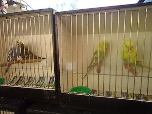 selling out all budgies Dandenong Greater Dandenong Preview