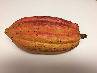 7 fresh, clean seeds (Theobroma cacao), starting to germinate!