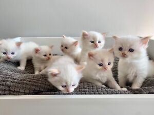 Flame Point Ragdoll Kittens