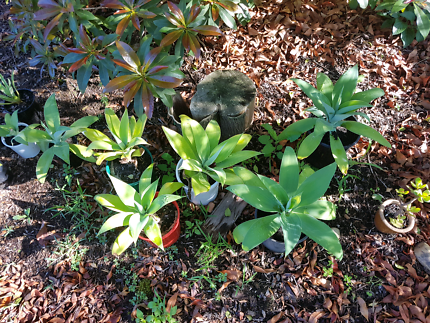 Agave plants medium size large size lots available