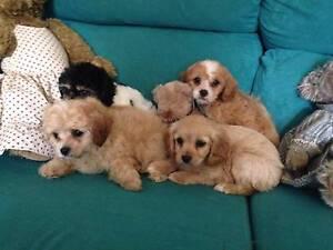 cavoodle puppies Singleton Singleton Area Preview