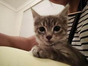 RESCUE Kitten Cat ADOPTION - Sun 28th - Pet O Alexandria Alexandria Inner Sydney Preview