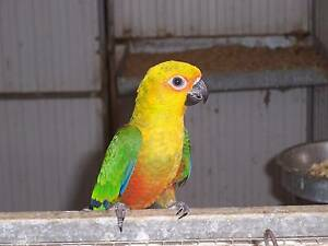 JENDAY CONURES Strathalbyn Alexandrina Area Preview