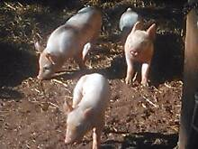 Piglets for Sale. Toodyay Toodyay Area Preview