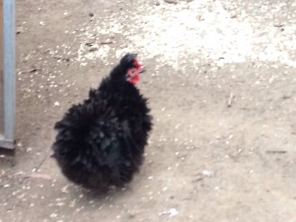 2 black silkie laying hens Bonogin Gold Coast South Preview
