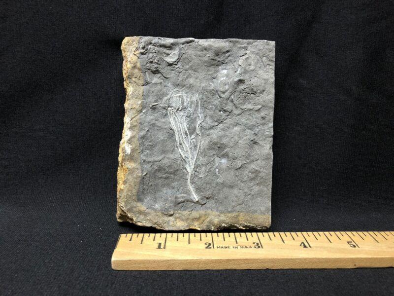 Fossils-Rare Killer Prep Collector Grade Culmicrinus vagulus-Trilobite Crinoid