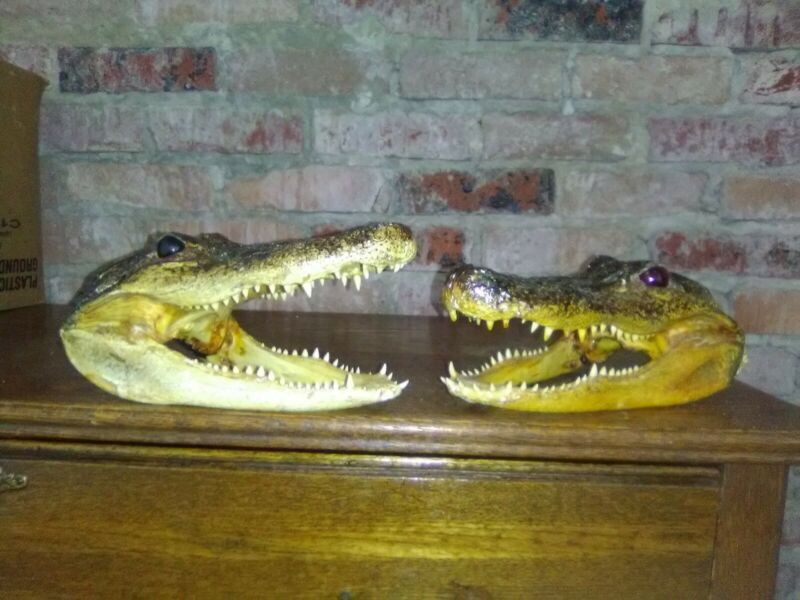 Two Alligator Heads 9 Inches Genuine Real Gator American Taxidermy Reptile