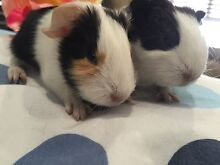 10 ADORABLE BABY PIGGIES Burnside Melton Area Preview
