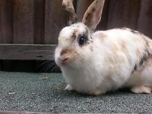 desexed dwarf rabbit Birrong Bankstown Area Preview