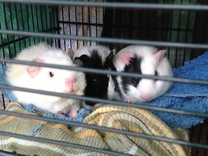 Guinea Pigs for sales Willetton Canning Area Preview