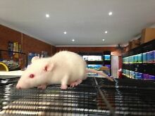 Pet Rats and Mice Rooty Hill Blacktown Area Preview